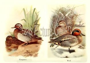Garganey & Teal